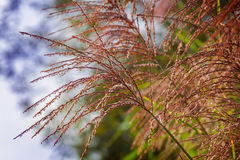 Flower spikes, zebra grass royalty free stock image