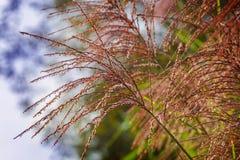 Flower spikes, zebra grass Royalty Free Stock Image