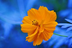Flower with a spot of yellow. Flower with yellow and blue Stock Image