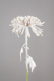 Flower sprayed with white paint Stock Photography