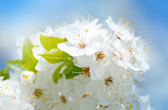 Flower spring background Royalty Free Stock Images