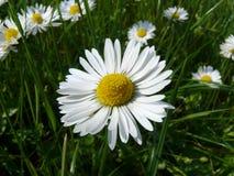 Flower. Spring, bellis perennis, maedow, flower, plants, landscapes, nature, grass, asteraceae Stock Image