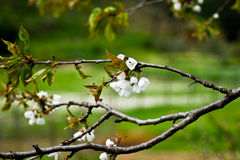 Flower spring blossoms. With green background  (selective DOF Stock Images