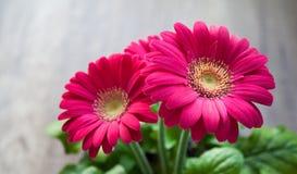Flower, Spring, Summer, Gerbera Royalty Free Stock Image