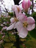 Flower, white plum. Spring white and pink flower Royalty Free Stock Photography