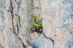 A flower sprouted up through the rock. Overcoming self concept Royalty Free Stock Images