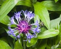 Flower of squarrose knapweed macro, selective focus, shallow DOF Stock Photography