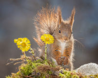 Flower squirrel Royalty Free Stock Image