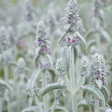 Flower  Stachys byzantine Royalty Free Stock Images