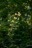 Flower stalk of fatsia tree Stock Photos