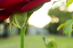 Flower stalk. Red rose. Stock Photo