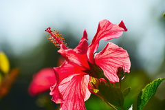 The flower stamen royalty free stock images