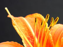 Flower stamens Stock Images