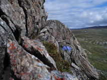 Flower standing strong on mountain Atoklinten in Hemavan,North of Sweden, Scandinavia Stock Image
