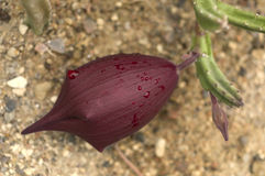 Flower of the Stapelia leendertziae Stock Photography