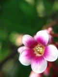 Flower of star apple. On macro Stock Photos