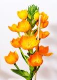 Flower Star from Bethlehem Royalty Free Stock Photo