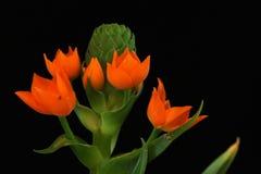 Flower of the Star of Bethlehem Plant Stock Photos