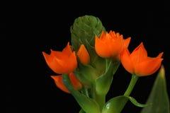 Flower of the Star of Bethlehem Plant Stock Photo