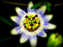 Flower. Star-shaped flower painted ma island of Krk Royalty Free Stock Image