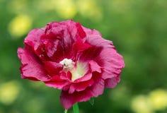 The flower-stem roses (mallow) Stock Photos