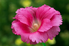 The flower-stem roses (mallow) Royalty Free Stock Image