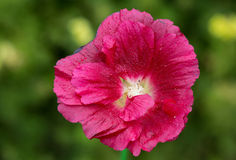 The flower-stem roses (mallow) Stock Photography
