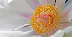 Flower Stigma and Anthers - Macro Royalty Free Stock Photography