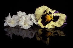 FLower Still Life. A flower still life reflecting on a black base Royalty Free Stock Photography