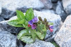 The flower is on stone, the birth of a new life in very difficult conditions. An amazing miracle of survival in stones royalty free stock photo