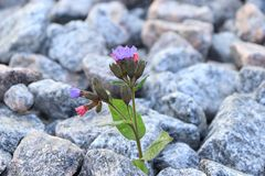 The flower is on stone, the birth of a new life in very difficult conditions. An amazing miracle of survival in stones royalty free stock photography