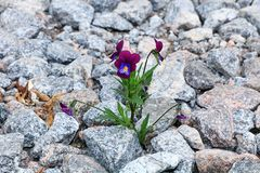 The flower on the stone, the birth of a new life in very difficult conditions. An amazing miracle of survival in stones., Life is hard royalty free stock image
