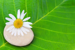 Flower and stone on a green leaf. Camomile flower and stone on a green leaf Stock Images