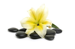 Flower  and stones. Spa still life with Spring flowering quince and zen stones Stock Image