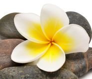 Flower and stones Stock Images