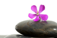Flower on stones Royalty Free Stock Photo