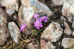 Flower between the stones Stock Photos