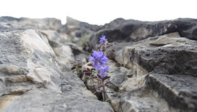 Flower in stones. Dolomites Italy Royalty Free Stock Image