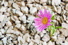 A flower in the stones Royalty Free Stock Image