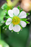Flower of strawberries in the morning dew Royalty Free Stock Image