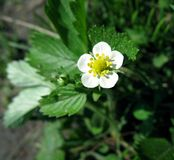 Flower of strawberry royalty free stock images