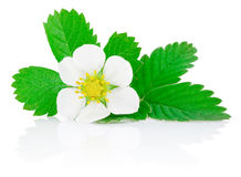 Flower of strawberry and leafs isolated on white Royalty Free Stock Images