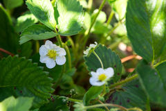 The flower of a strawberry Stock Photography