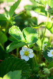 The flower of a strawberry Stock Photo