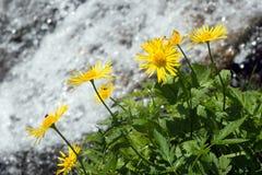 Flower and stream. Yellow flowers near beautiful mountain stream Stock Photography