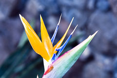 Flower Strelitzia Stock Photos