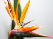 Flower Strelitzia Royalty Free Stock Image