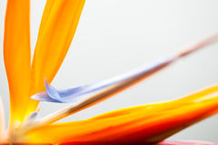 Flower Strelitzia Stock Image