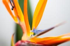 Flower Strelitzia Stock Photography