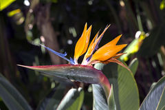 Flower Strelitzia Reginae. A bird of paradise Stock Photo